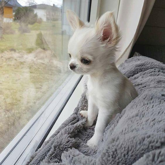 Chihuahua Puppies For Sale Chihuahua Puppies Cute Chihuahua Chihuahua