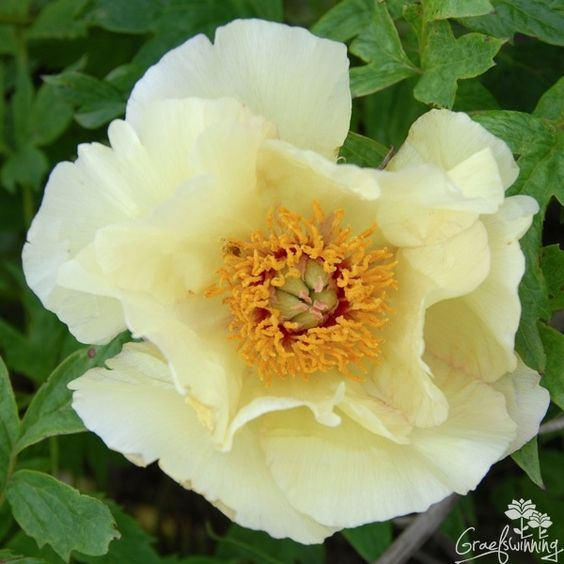 Paeonia Tria  ... flowers are softly scented and a  joy to any gardener   <3 Tree peony