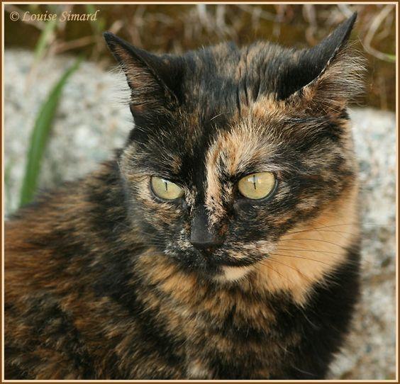 Tortoiseshell calico cat behavior