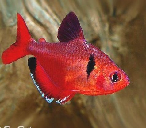 Serpae Tetra For Sale Aquariumfish Aquarium Fish Red Di 2020 Ikan Air Tawar Ikan Akuarium Ikan