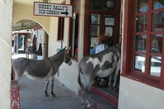 Panoramio - Photo of Oatman donkeys lined-up for Ice Cream!