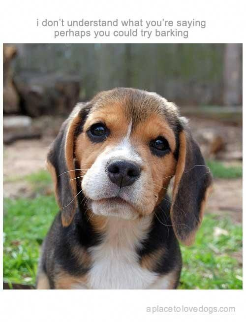 Receive Great Suggestions On Beagles They Are On Call For You On