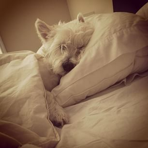 They're not cuddly. | 29 Pictures That Prove You Should Never Own A Westie: