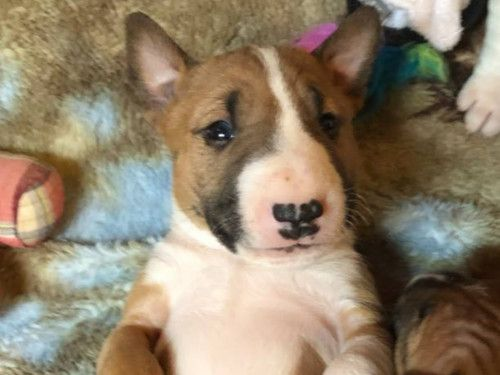 Bulletproof Miniature Bull Terriers Puppy Sales Adoptions Puppies Miniature Bull Terrier Terrier