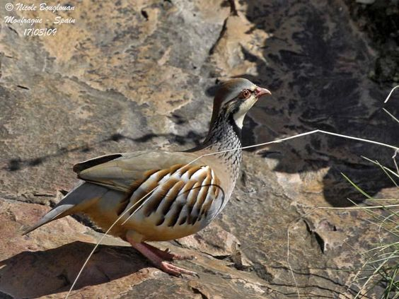 Red-legged Partridge (Alectoris rufa hispanica)