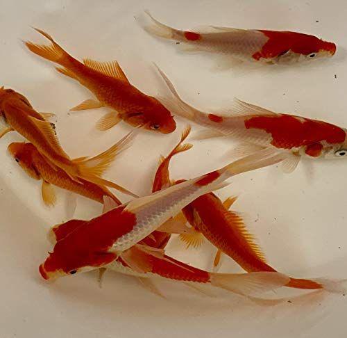 Live Arrival Guarantee USA Born and Raised Toledo Goldfish Live Shubunkin and Sarasa Goldfish Combo for Ponds or Aquariums