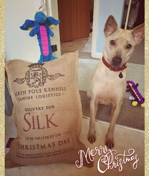 As the festive photos of our former shelter animals keep rolling in from their homes around the world, we simply couldn't resist sharing one special girl. Silk was grabbed from the streets of Thailand and thrown in a cage to be transported over the border and then tortured and slaughtered for her meat. Instead, thanks to people like you, Silk and thousands of others were rescued. https://savedogsasia.soidog.org/campaign/savedogsasia/dmt