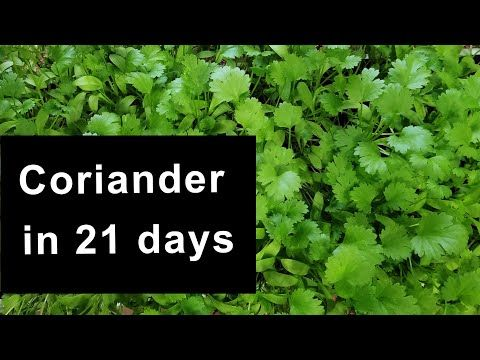 How To Grow Coriander In 21days From Seed To Harvest Indoors Coriander Dhaniya Cilantro Youtube In 2020 Growing Cilantro Growing Coriander Seed Pots