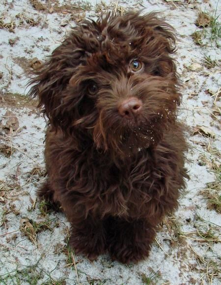 cockapoo Pooches & other Cute Critters! Pinterest