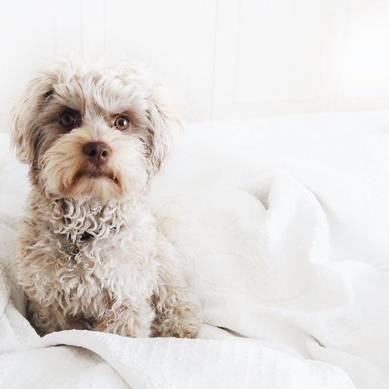 Fluffy Bolonka Zwetna puppy