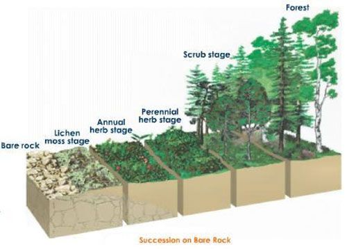 ecological succession on pinterest : primary succession diagram - findchart.co