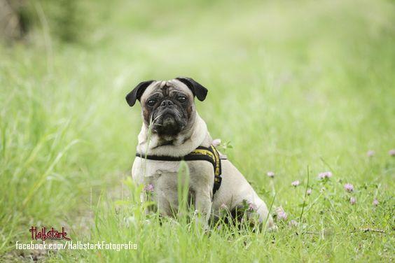 Mops Fotografie Hund