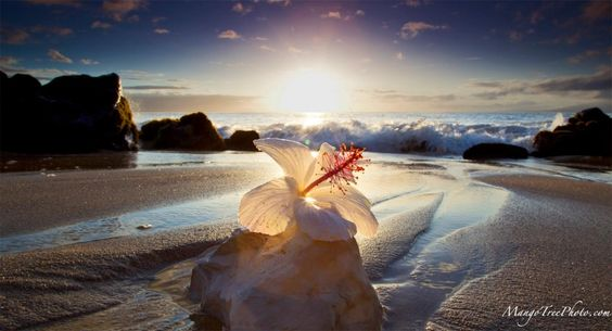 Hibiscus, on the Beach, at Sunset | Hawaii Pictures of the Day