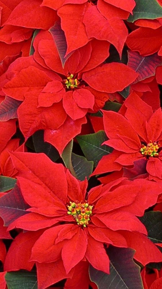 poinsettia, flowers, red, lot
