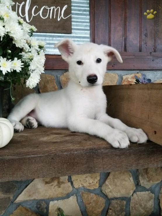 White Coat German Shepherd Puppy Olympusgermanshepherddogs Shepherd Dog German Shepherd Dogs German Shepherd