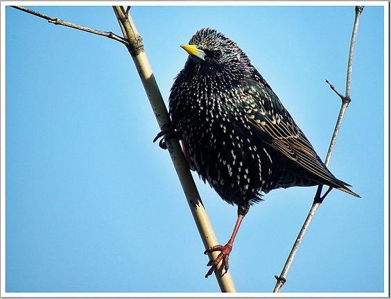 Oiseaux de mon Jardins Étourneau sansonnet