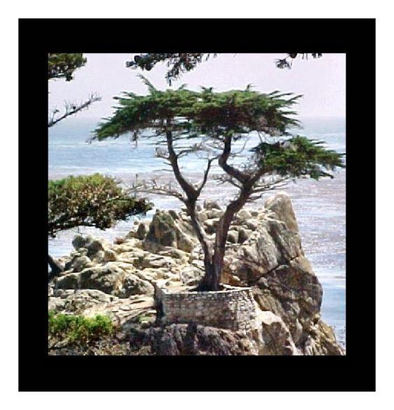California tree