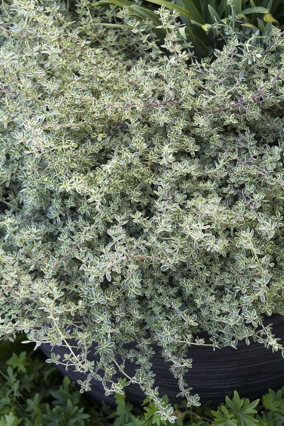 """Silver Thyme, full sun, 6-12"""" tall and wide, can be used to creep over walls"""