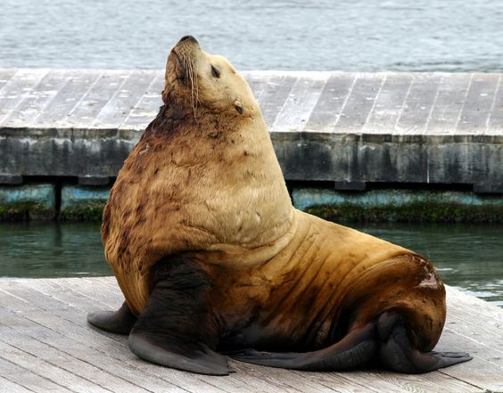 Steller Sea Lions are regular visitors to Ross Bay next to Clover ...