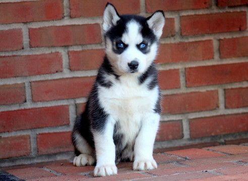 Siberian Husky Puppy For Sale In Mount Joy Pa Adn 58192 On