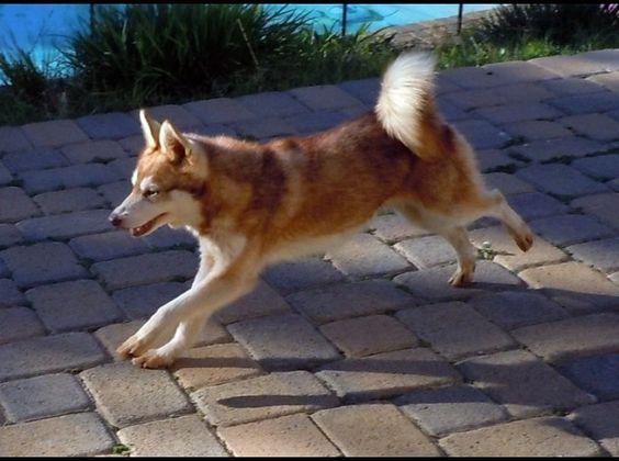 Alaskan Klee Kai Mini Husky   ALASKAN-KLEE-KAI-MINI-HUSKY