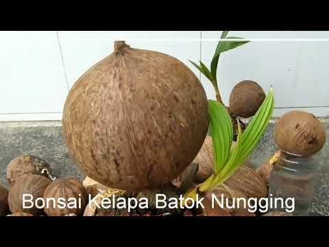 Cara Membuat Bonsai Kelapa Batok Nungging Bercabang Dan Berbuah