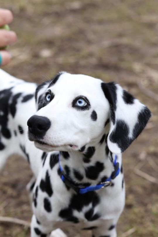 Smart long haired Dalmatian