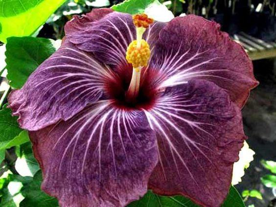 Como plantar Hibiscos. Um bom jardim precisa de belas plantas, um belo jardim precisa de flores, um jardim prático precisa de plantas naturais da região e um jardim perfeito precisa de Hibiscos. Os Hibiscos podem ser muito ...