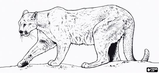 Free Mountain Lion Coloring Pages Coloring Pages Felines Coloring Book Felines Printable Color Pages Lion Coloring Pages Lion Images Coloring Pages