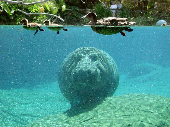 hippo dans l'eau