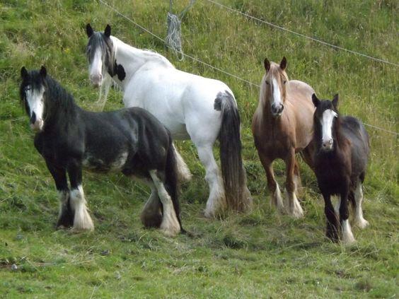 http://www.haustier-anzeiger.de/pferdemarkt/pferde/irish-tinker.html