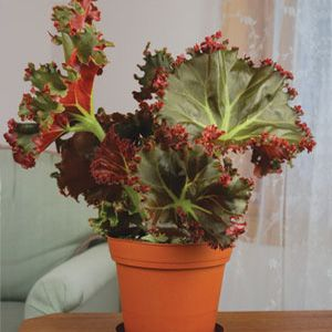 Begonia 'Madame Queen' - Logee's Greenhouses