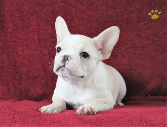 Angela French Bulldog Puppy For Sale In Millersburg Oh