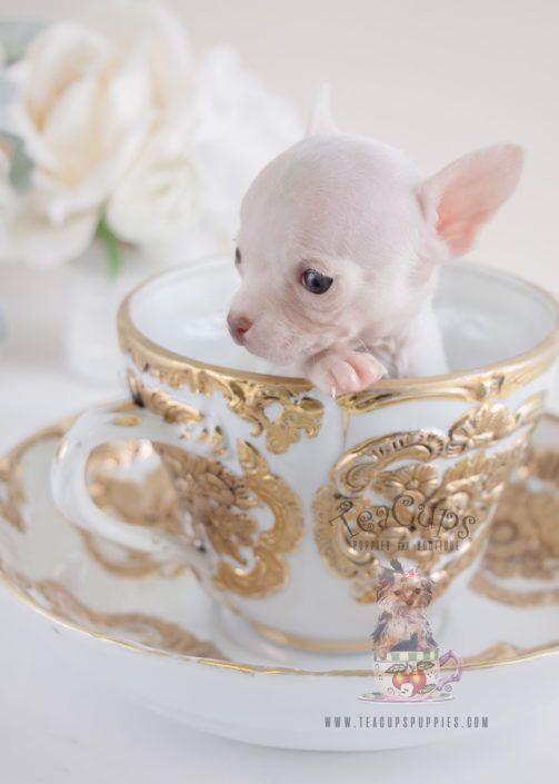 Tiny Teacup Chihuahua Puppy For