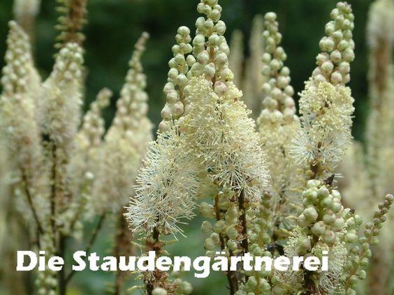 Cimicifuga (Actaea) rubifolia (racemosa var. cordifolia), 4,00 €
