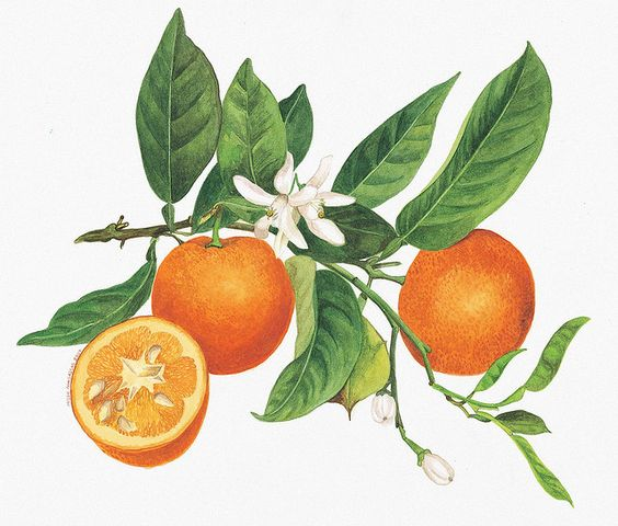 Orange, Blossoms and Florida on Pinterest