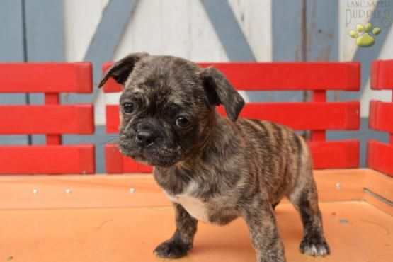 Paprika Pugston Terriers Puppy For Sale In Rushville Ny