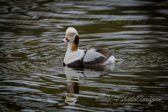 Long - tailed Duck ( c ) MH PhotoDesigns 2014