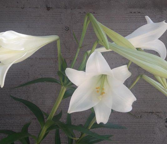 Cómo Cuidar La Azucena Flor De Lis O Lilium Candidum Azucena Planta Azucena Azucena Flores