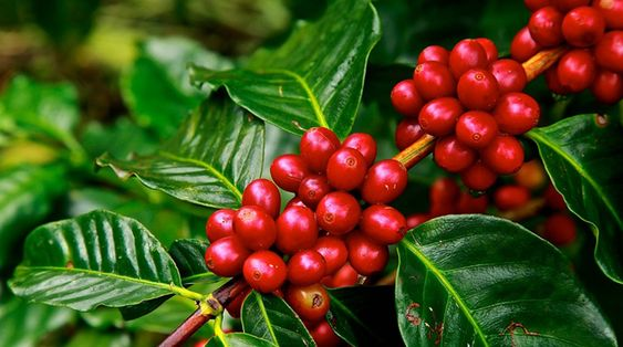 This Is How Everyday Foods Look Before They Are Harvested In 2020 Studying Food Everyday Food Coffee Drinkers