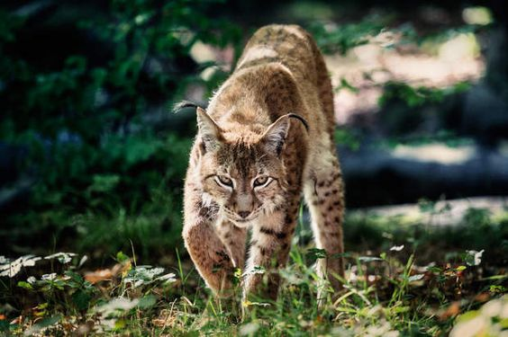 Lynx des Vosges, SOS disparitionEst-il encore là ? La question tracasse Anthony Kohler, du réseau Ferus, mobilisé pour le sauvetage du lynx boréal. Ce prédateur qui vit dans les Vosges est considéré comme quasi éteint en France, victime de sa réputation maléfique, de l'hostilité des éleveurs, du braconnage et des maladies.