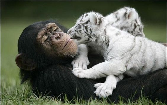 Шимпанзе растит тигрят - Путешествуем вместе