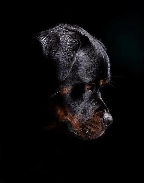 Rottweiller-I love this photo....I'll never get mine to be this still tho...lol