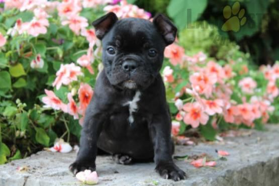 Lily French Bulldog Puppy For Sale In Mifflinburg Pa