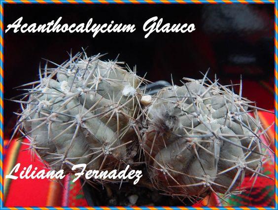 glauco significa grisaaceo habitat Catamarca y La Rioja