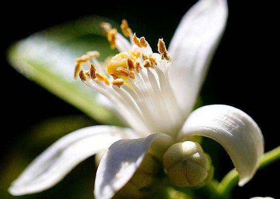 Descubra os benefícios do chá feito com as flores de laranjeira e saiba como desfrutar deles. Aprenda a preparar o chá.