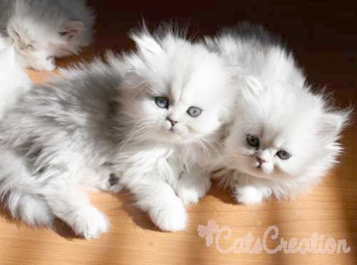 Pin On Maine Coon Cats And Kittens