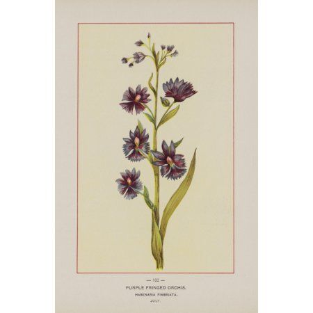 Posterazzi Wild Flowers of America 1894 Purple Fringed Orchis Canvas Art - Unknown (24 x 36)