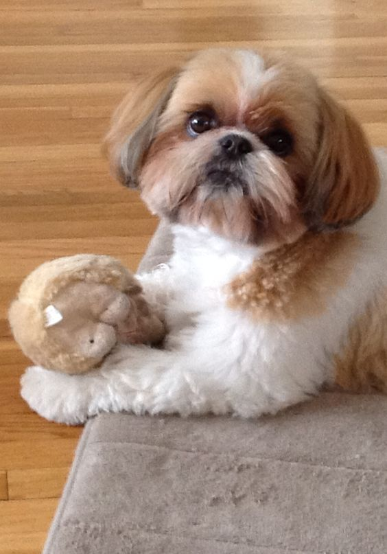 Molly and her toy! (LOVE Shih Tzu expressions)