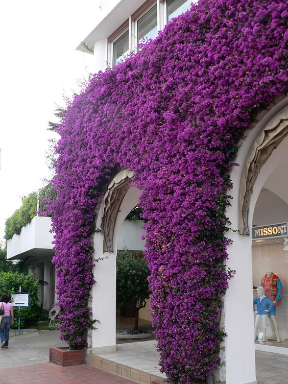 Bougainvillea at Anacapri | Fences, Hedges and Walls ...